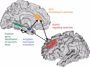 The amygdala makes race-based evaluations while DLPFC regulates racial bias. Image by The Brain Bank.