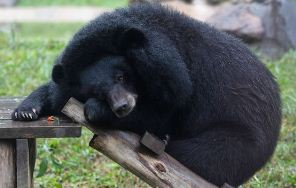 A bear at the Vietnam Bear Rescue Centre. Photo by KHAM/REUTERS.