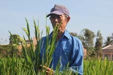 Strange Chinese rice introduced into Vietnam