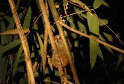 Pygmy slow loris in Na Hang Nature Reserve