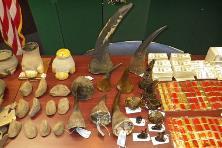 Captured Rhino horns