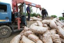 Toxic Chinese potatoes