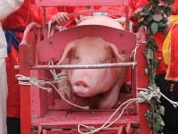Pig on way to slaughter